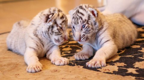 صور lovely white Siberian tiger cubs For sale 1