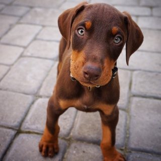 Red doberman puppies available