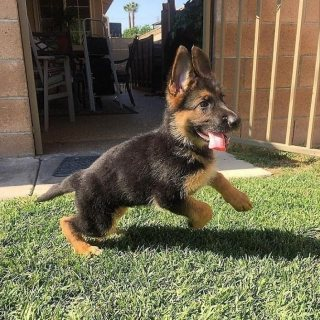 German shepherd puppies available