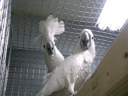 Umbrella Cockatoo parrots available for sale