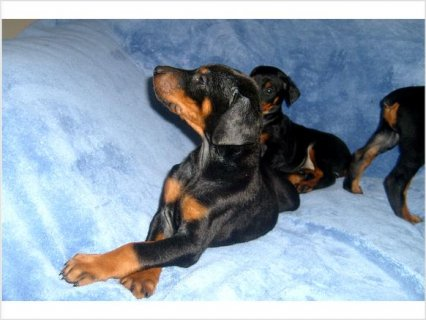 Akc reg european doberman puppies