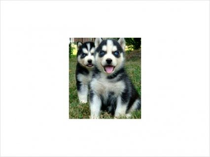 Siberian husky puppies with blue eyes