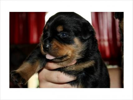 Akc Rottweiler Female Puppy German champion, international champ