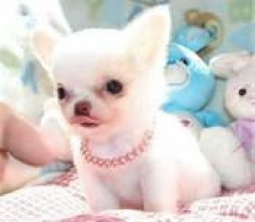 very lovey,charming and adorable Chihuahua Puppy for adoption.