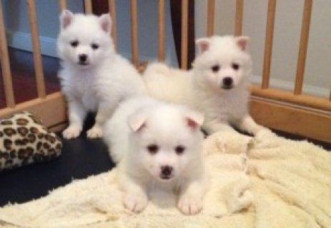 American Eskimo Puppies