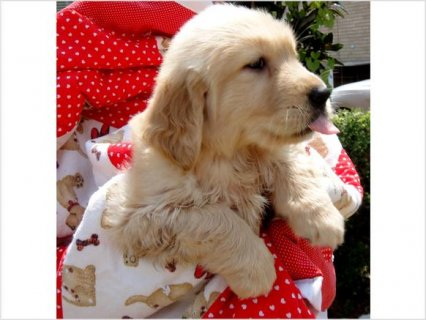 صور Golden Retriever Puppies For Sale  2