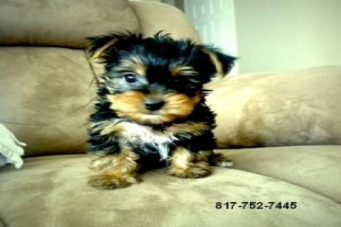 صور Teacup Yorkie Puppies 1