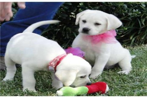 Beautiful and cute healthy GOLDEN RETRIEVER PUPPIES baby pupies