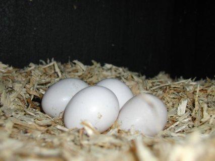 الببغاء الرمادي خصبة البيض الأفريقية وغيرها من الأنواع للبيع.
