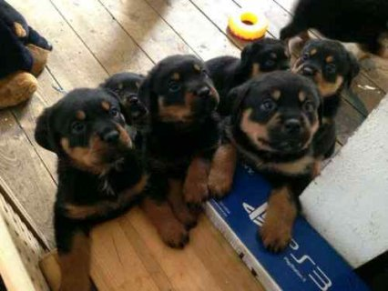 صور Quality Litter home bred Rottweiler puppies from excellent famil 1