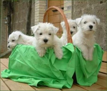 صور West Highland White Terrier Puppies looking for forever loving h 1