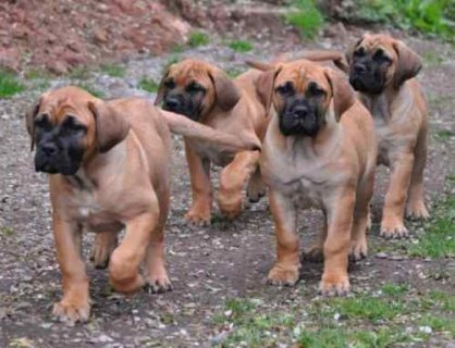 صور Boerboel pupppies for adoption 1