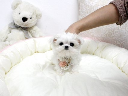 صور white teacup maltese puppies males and females for sale 2