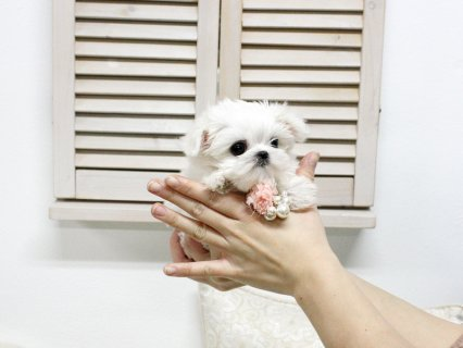 صور white teacup maltese puppies males and females for sale 3
