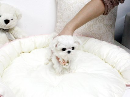 صور white teacup maltese puppies males and females for sale 4