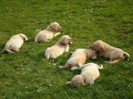Cute male and female labrador puppies for adoption