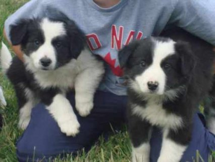 صور Family Raised Border Collie Puppies.all Vaccinations Current Rea 1