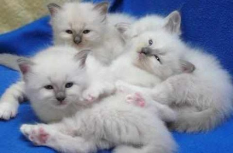 صور Birman Kittens,5 Gen Pedigree, GCCF Reg for adoption 1
