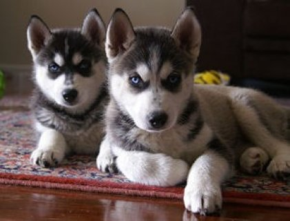 صور Siberian Husky Puppies for Sale 1