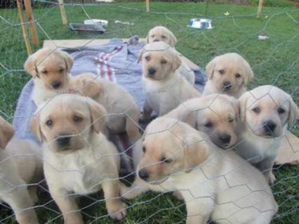Lovely Larbrado Puppies for Adoption