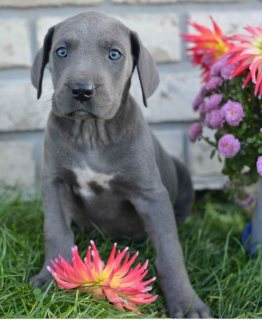 صور Great Dane Puppies For Sale 1