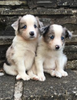 Welsh Collie Puppies For Sale