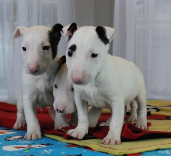 Bull Terrier puppies For Good Homes