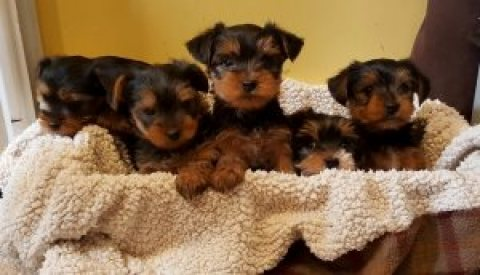 Handsome Yorkies available for Rehoming