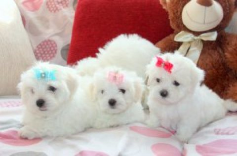Adorable Splendid Maltese Puppies For  Rehoming