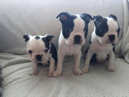 Healthy Boston terrier puppies ready