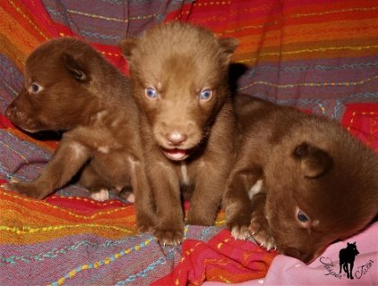 Wolfdog puppies Available