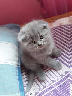 Playful Scottish Fold Kittens For New Homes