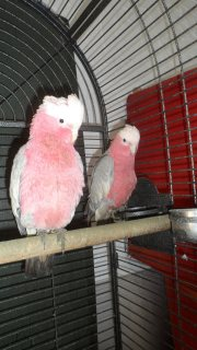 Cute Outstanding Palm Cockatoos Available Parrots