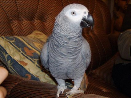 صور Hand Raised and Talking Pair of African Greys Parrots 1