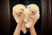 Mini Pomeranian puppies available for sale