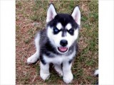 Siberian husky puppies for a home