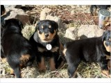 Rottweilers ready to be your Valentine