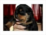Akc Rottweiler Female Puppy German champion, international champ