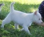 Purebred Siberian Husky