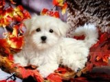 Maltese Puppies for Sale1
