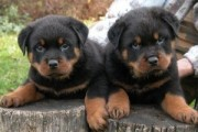 Rottweiler Puppies Available1