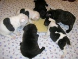 Amazing French Bulldog puppies available for good homes