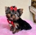 Tiny Teddy-Bear Face Yorkie Pup
