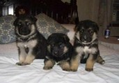 Outstanding Quality German Shepherd puppies, black %26 tan,  For