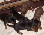 Doberman Pincher Puppies 4 Litters for adoption