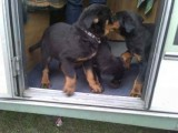 Cute male and female Adorable Rottweiler puppies For Adoption