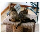 I have caring and affectionate Savannah kittens for Rehoming