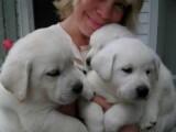 We offer lovely male and female Labrador Retriever for adoption