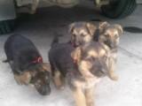 German Shepherd Puppies(kc reg,ped,health tested