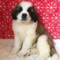 Traditional Smooth and Soft Coat Saint Bernard Puppies